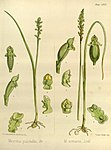 Joseph Dalton Hooker - Flora Antarctica - vol. 3 pt. 2 plate 118 (1860).jpg