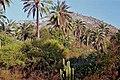 Jubaea chilensis - Palmares de Ocoa - Chile por Jorge Leon Cabello - 002.jpg