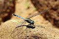 Julia skimmer dragonfly (Orthetrum julia) immature male.jpg