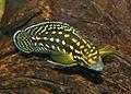 Julidochromis marlieri 01.jpg