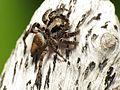 Jumping Spider - Flickr - treegrow (15).jpg