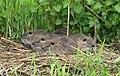 Junge Nutrias im Biosphärenreservat Mittelelbe.jpg