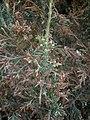 Juniperus chinensis at Akola, India.jpg