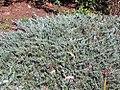 Juniperus horizontalis, US National Arboretum.jpg
