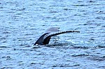 Just as dinner was about to be served we were blessed with a feeding orgy of Humpback whales right in front of the ship, forcing the captain to stop in the middle of the Gerlache strait.spectacular (25881417722).jpg