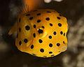 Juvenile Trunk Fish (3385504295).jpg