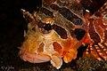 Juvenile lion fish, jahir 1, lembeh, indonesia, 2017 (34213307933).jpg