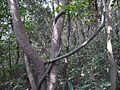 Kakkakkoti (Malayalam- കാക്കക്കൊടി) (8461913596).jpg