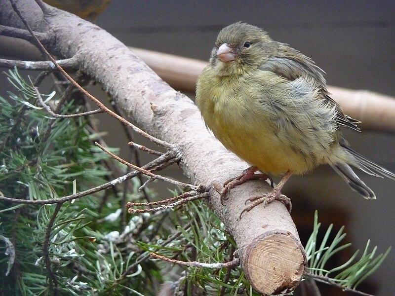 File:Kanarienvogel grün.JPG