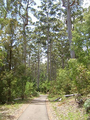 Forest with carribrees (Eucalyptus diversicolor)