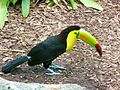 Keel-billed Toucan Miami MetroZoo.jpg