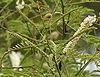 Khair (Acacia catechu) flowers at Hyderabad, AP W IMG 7261