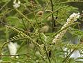 Khair (Acacia catechu) flowers at Hyderabad, AP W IMG 7261.jpg