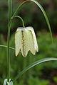 Kievitsbloem (Fritillaria meleagris) 04.JPG