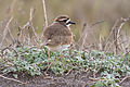 Killdeer at Rodeo Beach.jpg