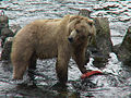 Kodiak Bear with salmon, USFWS DI-DSC00044.jpg