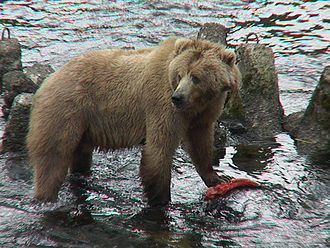 Kodiak bear - Kodiak bear with a salmon