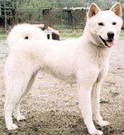 Korean Jindo Dog.jpg