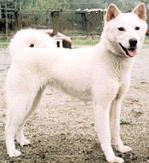 Jindo (island) - Korean Jindo Dog.