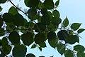 Korina 2014-09-09 Fallopia japonica 3.jpg