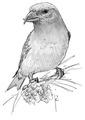 Kruisbek Loxia pytyopsittacus Jos Zwarts 1.tif