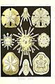 Kunstformen der Natur (Tafel 30) (6197318031).jpg