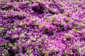 Kurume Azalea - National Rhododendron Gardens, Olinda, Victoria Australia (6225524847).jpg