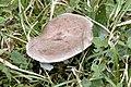 Lactarius trivialis - Lindsey 1a.jpg