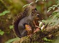 Lactating female Tamiasciurus douglasii (Douglas's squirrel), eating young cones of Douglas Fir (14808909709).jpg