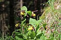 Lady's-Slipper Orchid - Cypripedium calceolus - panoramio (2).jpg