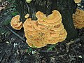 Laetiporus sulphureus (850757).jpg