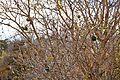 Lagenaria sphaerica, vrugte, Krugerwildtuin.jpg