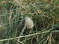 Lagurus ovatus.002 - Mañon.jpg