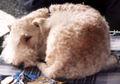 Lakeland terrier 045.jpg