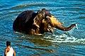 Laksmi is in elephant heaven (5580795149).jpg