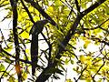 Large Green-billed Malkoha ( Phaenicophaeus tristis).jpg