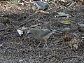 Large Grey Babblers Foraging 05.jpg