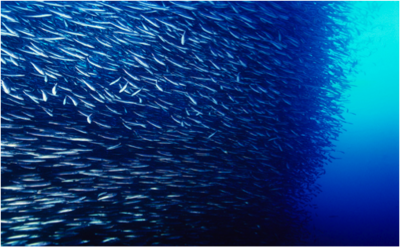 shoaling and schooling wikipedia