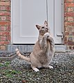 Larry the cat standing on gravel and gently pulling on a wool string in Auderghem, Belgium (DSCF2328-cropped).jpg