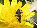 Larva de mariquita (17288296396).jpg