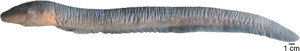 Lateral view of Electrophorus varii.png