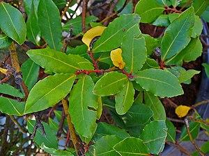 English: Laurus nobilis, Lauraceae, Bay Laurel...