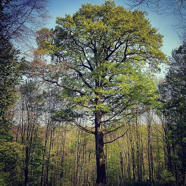 Âgé de 230 ans environ, ce chêne a été ainsi nommé en souvenir des moines qui ont habités jusqu'à la Révolution l'abbaye de Villers-Bettnach