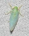 Leafhopper (42938143380).jpg