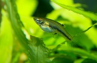 Least killifish female Heterandria formosa