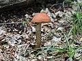 Leccinum aurantiacum at Stubelya, Botevgrad, Bulgaria 01.jpg
