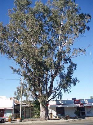 Eucalyptus microtheca - Image: Leichhardt Tree, Taroom (2009)