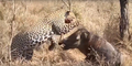 Leopard eats alive Warthog ✰Amaizing Video HD 4.png