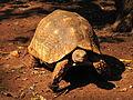 Leopard tortoise in Giraffe Centre 3.JPG