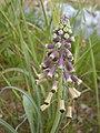 Leopoldia longipes 3.JPG
